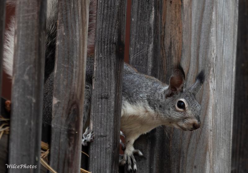 Abert'sSquirreOnDeck;(Photo #P9112075)