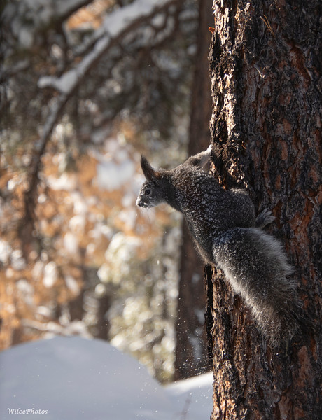 Snowy Abert's Squirrel (Photo #9052)