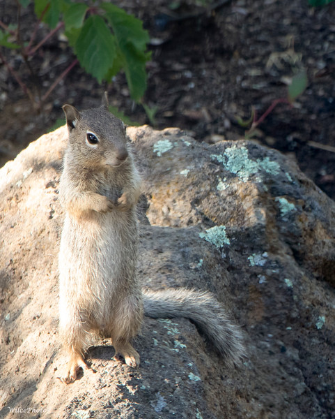 Rock Squirrel In Natural Habitat (Photo #5306)