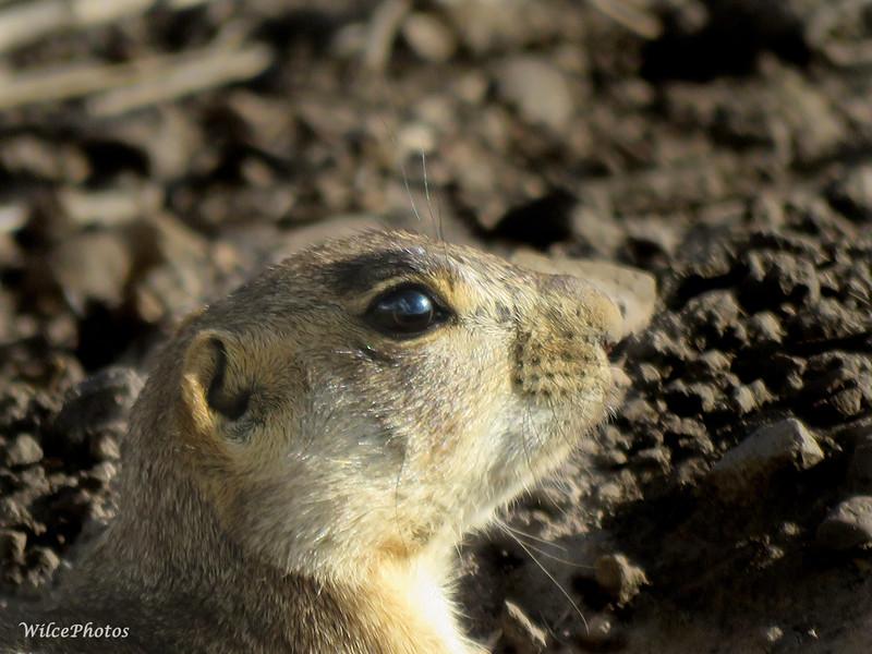 Prairie Dog Profile