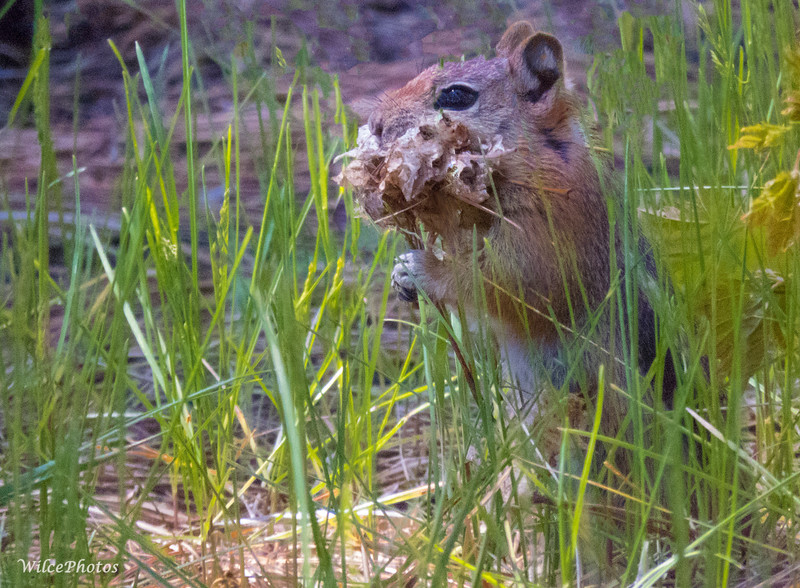 Chipmunk With Nesting Material