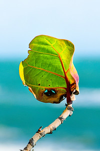sea grape leaf & branch