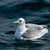 Black-legged Kittiwake (adult)