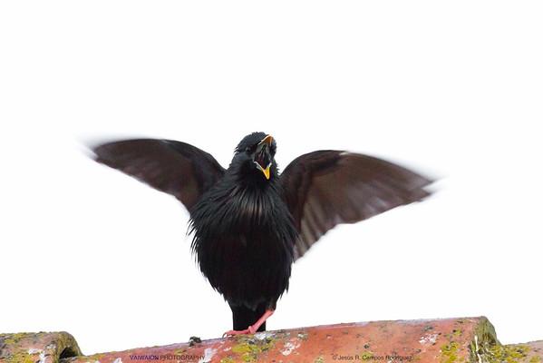 Brave Starling