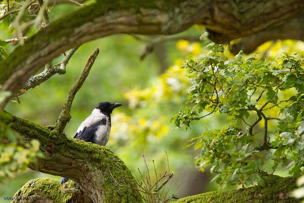 Danish crow