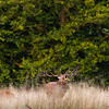 Male red deer bawling