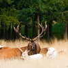 Male red deer and herd