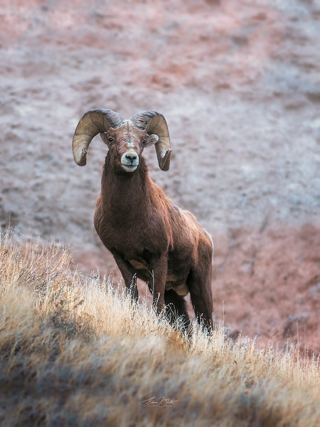 BIg Horn Sheep at the Badlands.