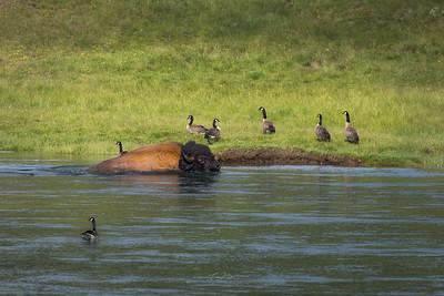 Bison Crossing.