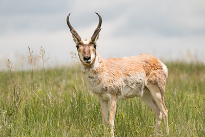 Eye to eye with a Pronghorn.