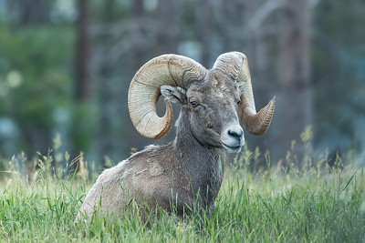 Big Horn Sheep.