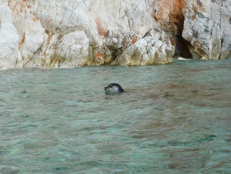 Four monk seals on Poliegos, 04 November 2010
