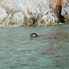 Four monk seals on Poliegos, 04 November 2010
