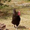 Hen in the yard