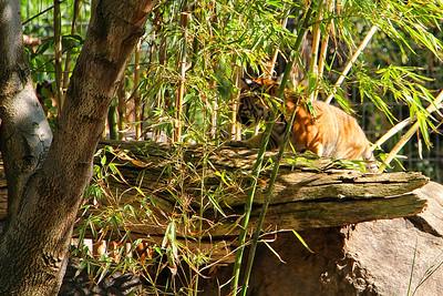 Fresno Chaffee Zoo - Tiger Cub (Full)