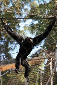 Fresno Chaffee Zoo - Siamang (Full)