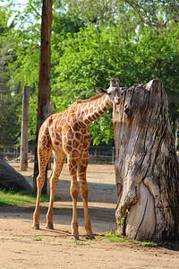 Fresno Chaffee Zoo - Baby Giraffe (Full)