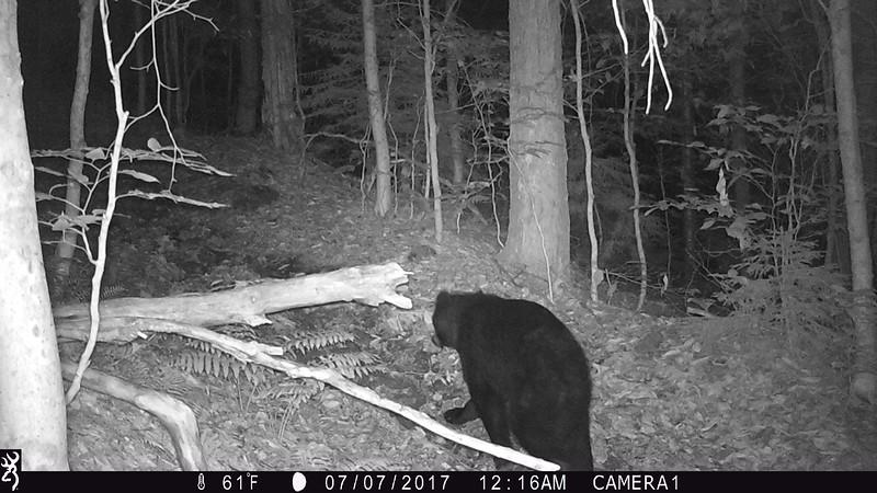 Bear on Mud Pond Trail