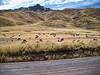 Llamas, Peruvian Andeees
