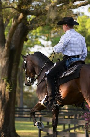 ALB Morgans - Stilwell Legacy under saddle