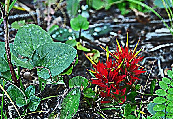 Morning Creek's September Crimson Paintbrush, 9-8-16