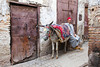 A donkey waiting in the street of the Medina, old city of Fes, Morocco.