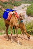 Camels in the Ourika Valley, Morocco.