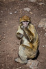 Monkeys beg for food at a roadside stop in the Atlas Mountains of Morocco.