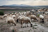 A flock of sheep grazing near the ruins of Volubilis, Morocco, North Africa.