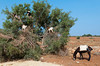 Goats up in a tree with a donkey in rural Western Morocco.