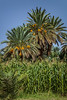 Date palm groves in the Draa Valley of Morocco.