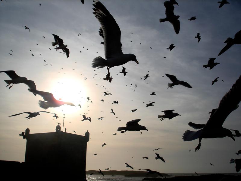 Essaouira Seagulls. 2007.