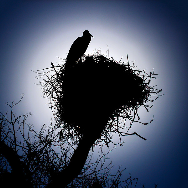 Silhouette of White Stork in Nest. 2007.