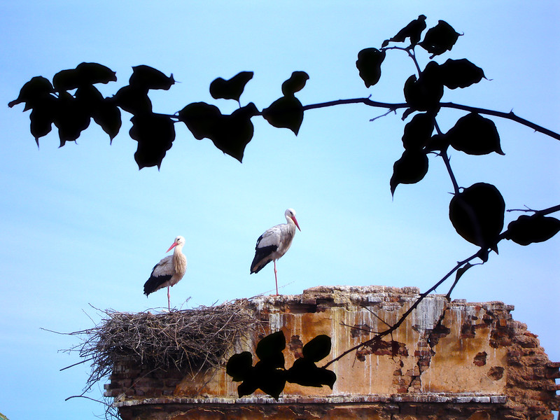 White Storks nesting in the Chellah in Rabat. 2006.