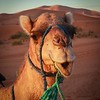 """Doris the Dromedary"" – Erg Chebbi Region of the Sahara Desert"