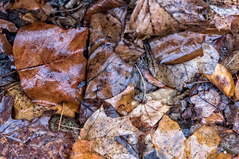 Wet Brown Leaves