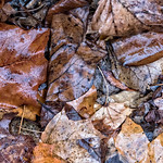 Wet Brown Leaves