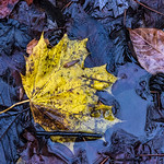 Yellow Leaf, Brown Leaf, Creek