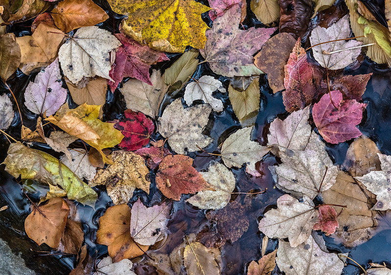 Red, White, Orange, Yellow Leaves Floating