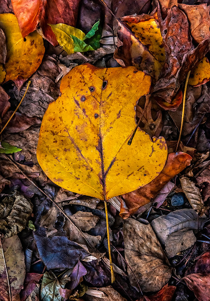 Torn Yellow Leaf, Bed of Leaves