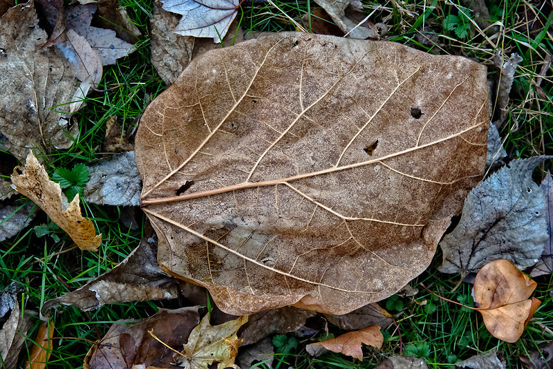 Brown Leaf, Veins