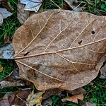 Brown Leaf, Veins