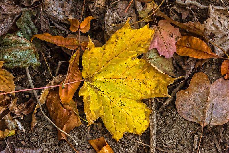 Large Yellow Leaf, Morris Park