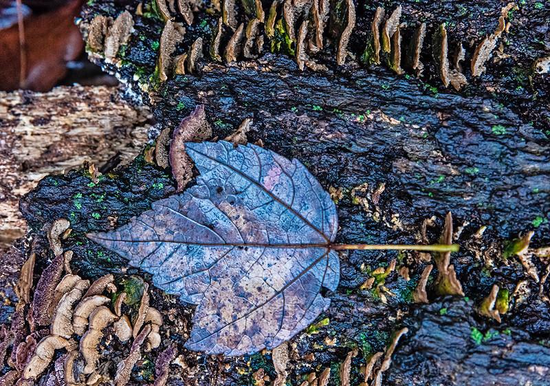 Blue Leaf, Fungi Growth, Fallen Tree