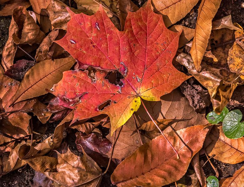 Reddish Orange Layered Leaves