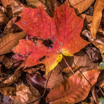 Reddish Orange Layered Leaves