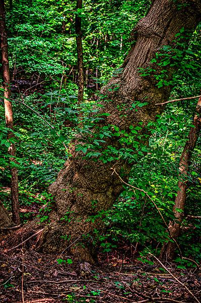 Tree Growth Angled at Sixty Degree