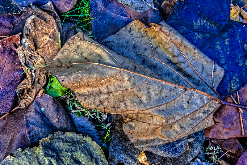 Light Green Leaf, Purple Leaves