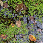 Stagnant Water, Floating Leaves
