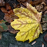 Yellow Leaf, Rocks, Leaves